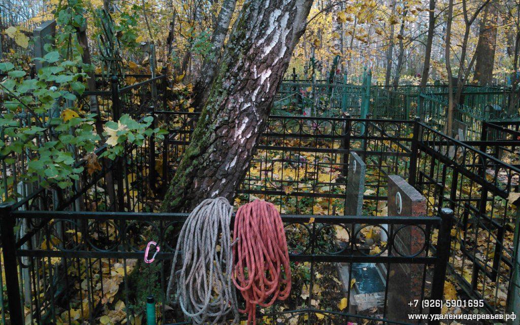 Спил березы на кладбище рядом с г.Пушкино - удалениедеревьев.рф