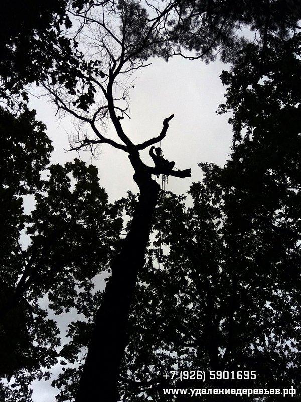 Удаление большого сухого дуба в Серебрянке (Балашиха, Московская область)