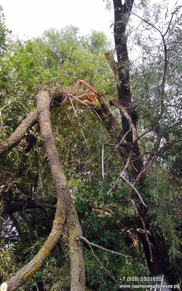 Сломанная ива в Озёрском районе Московской области 2