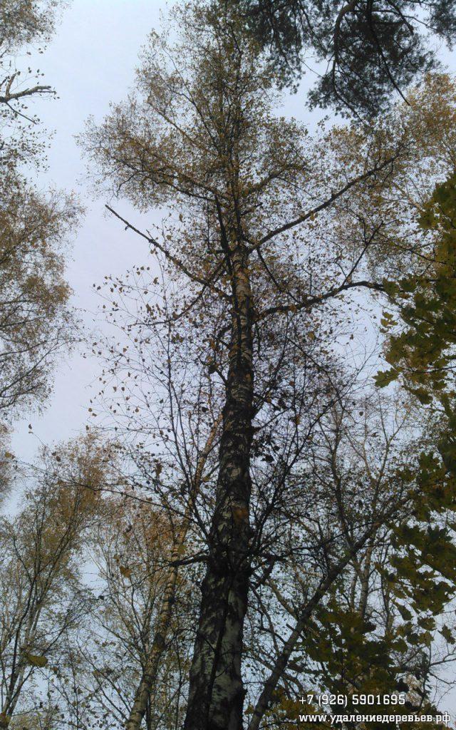 Спил березы на кладбище рядом с г.Пушкино 2