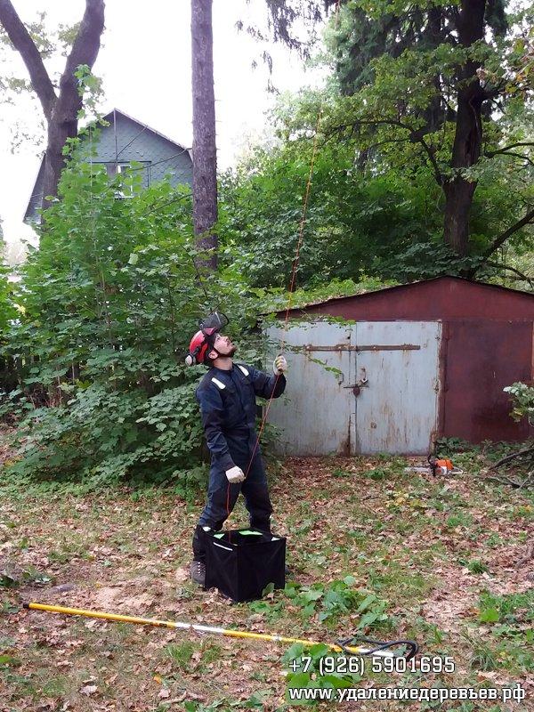 Протягивание верёвки через ветку для последующего подъёма на дерево и обрезки ветвей, Салтыковка (Балашиха, Московская область)