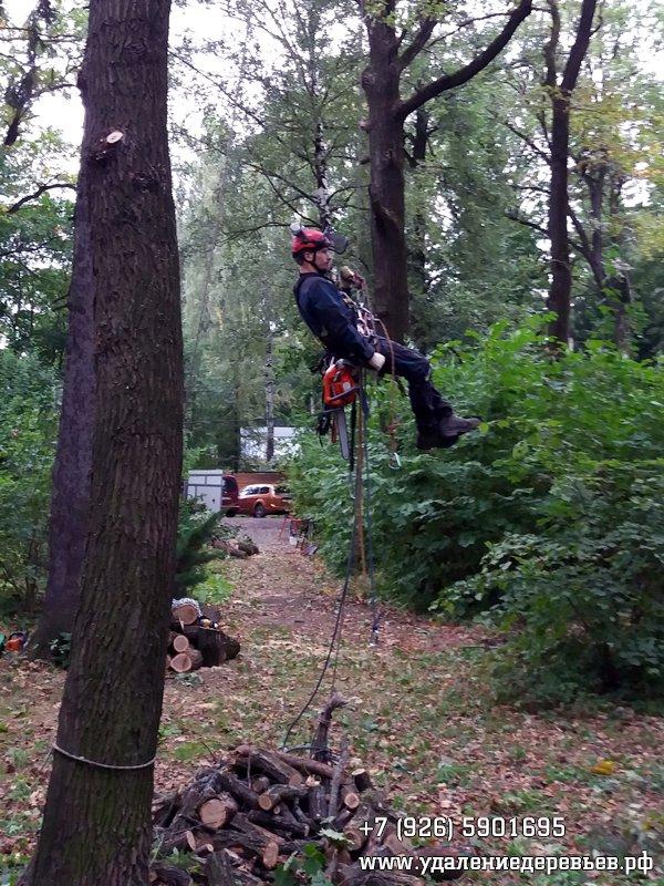 Спуск с дерева после санитарной обрезки, Салтыковка (Балашиха, Московская область)