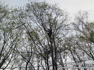 Арборист снимает квадрокоптер. На ветвях слева видна палка, которой его пытались сбить.