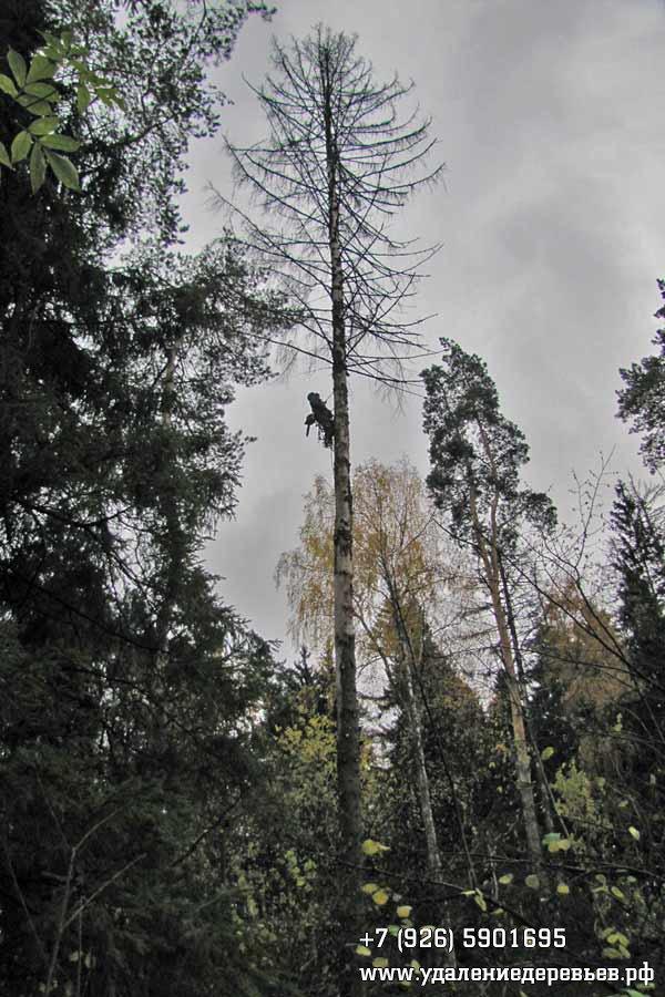 Арборист на высоком дереве