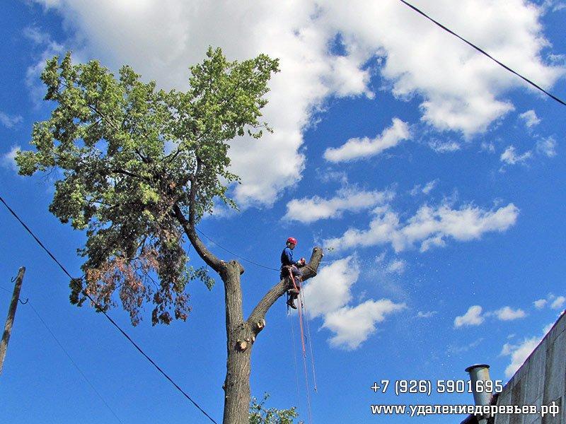 Профессиональная работа арбориста по спиливанию дерева