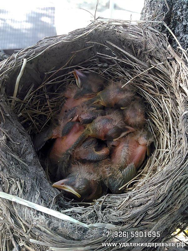 Птенцы в гнезде, обнаруженном при удалении дерева
