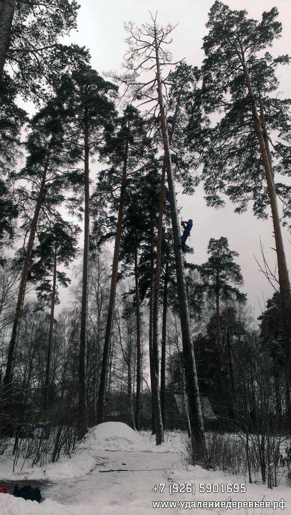 Спил сухостойной сосны в Пушкинском районе Московской области