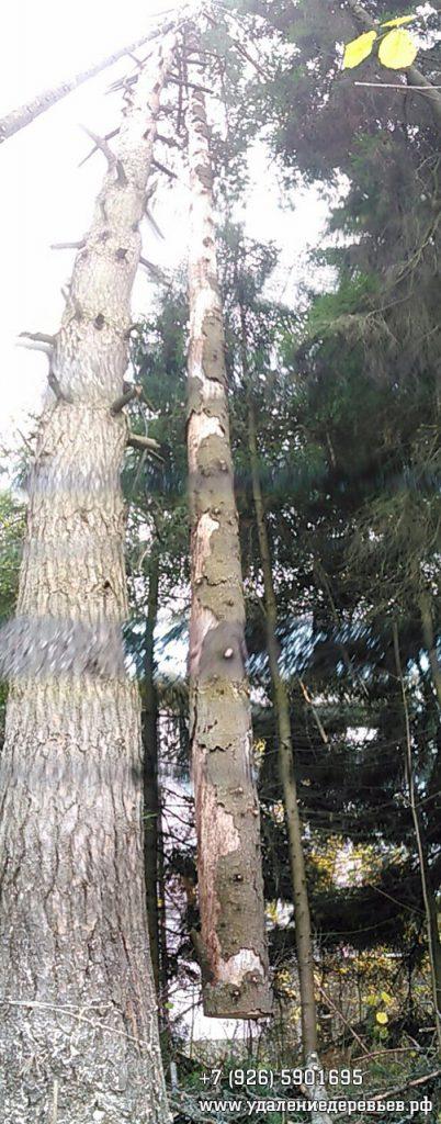 Завеска целиком ствола упавшей аварийной ели на соседнем дереве. Подольский район Московской области