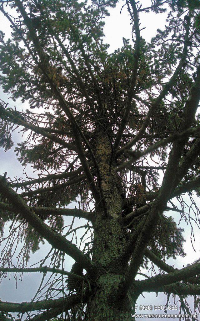 Засмоленная ель недалеко от Внуково 7